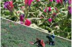 برداشت گیاه گل گاو زبان در گیلان آغاز شد